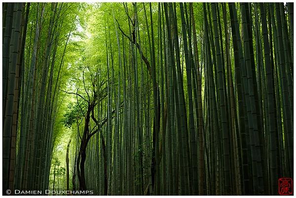 Arashiyama Bamboo Grove : copyright Damien Douxchamps