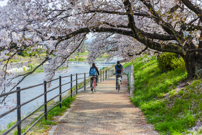 Cycling under the cherries in Kyoto. Editorial credit: weniliou / Shutterstock.com