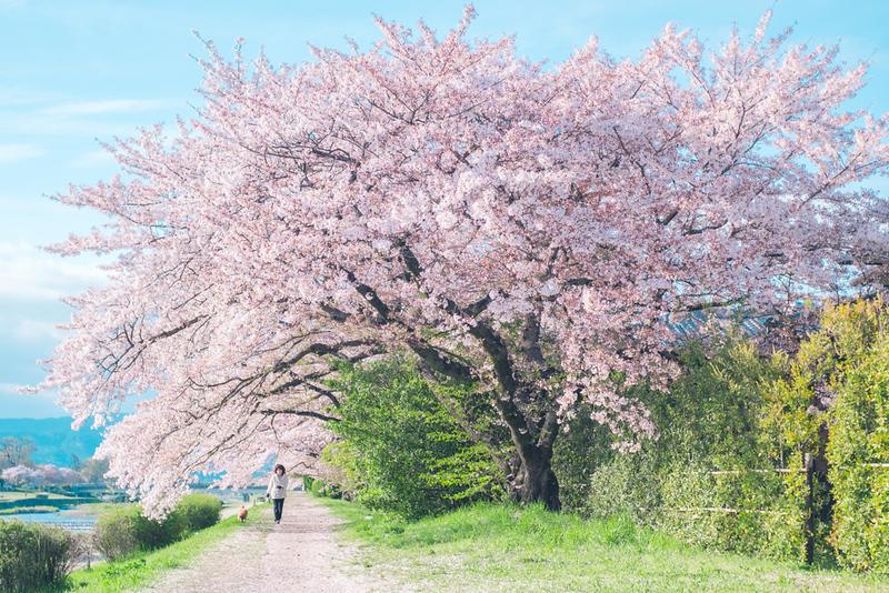 Cherries along the Kamo-gawa River. Editorial credit: YUSHENG HSU / Shutterstock.com