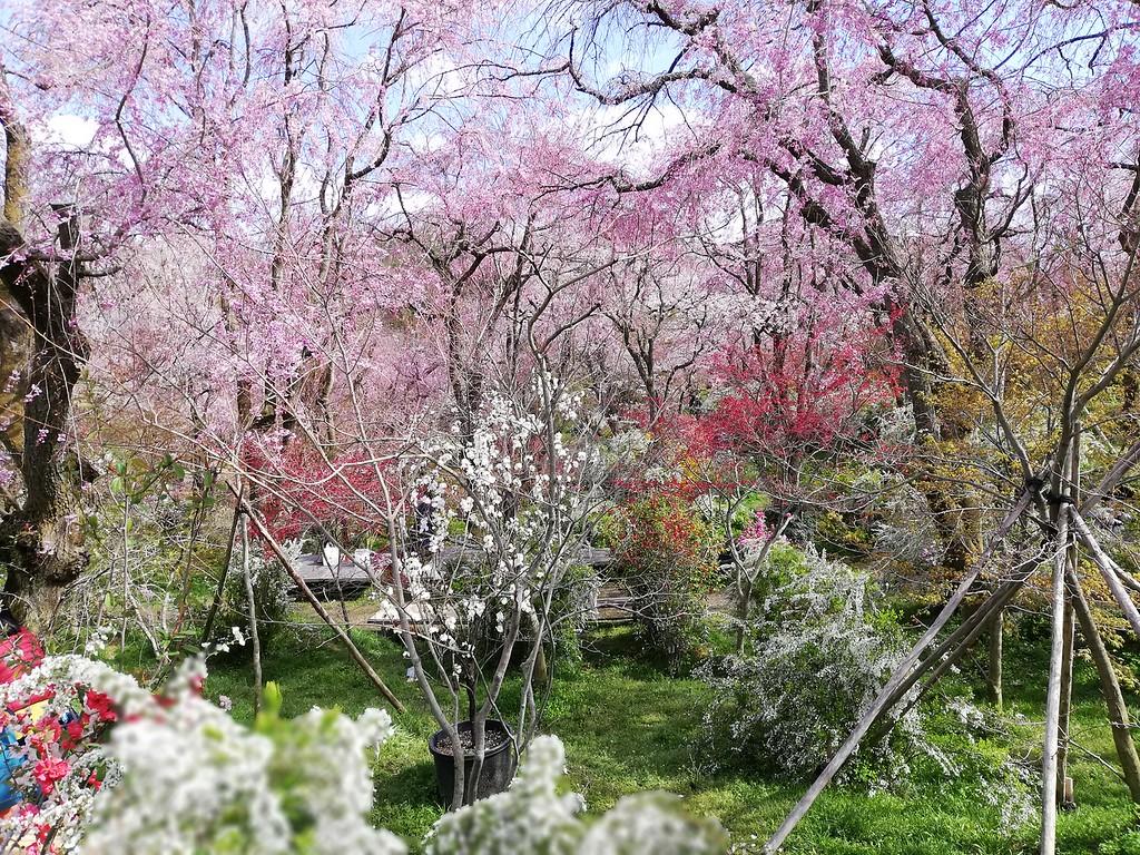 Haradani-en in full bloom