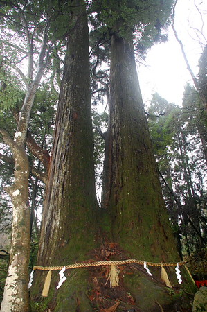 Ai-oi no sugi – 1000 year-old cedar trees that grew from the same root. A symbol of growing old together harmoniously.