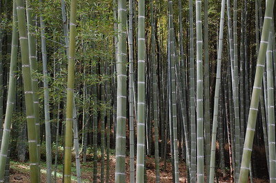 Bamboo grove at Tenryūji Temple