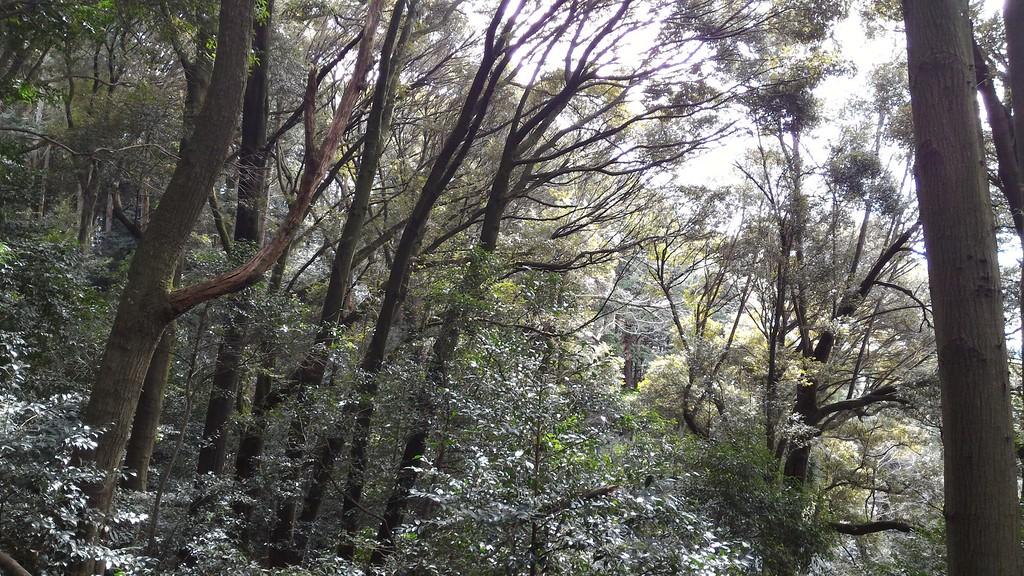 Shiinoki or Beech Trees