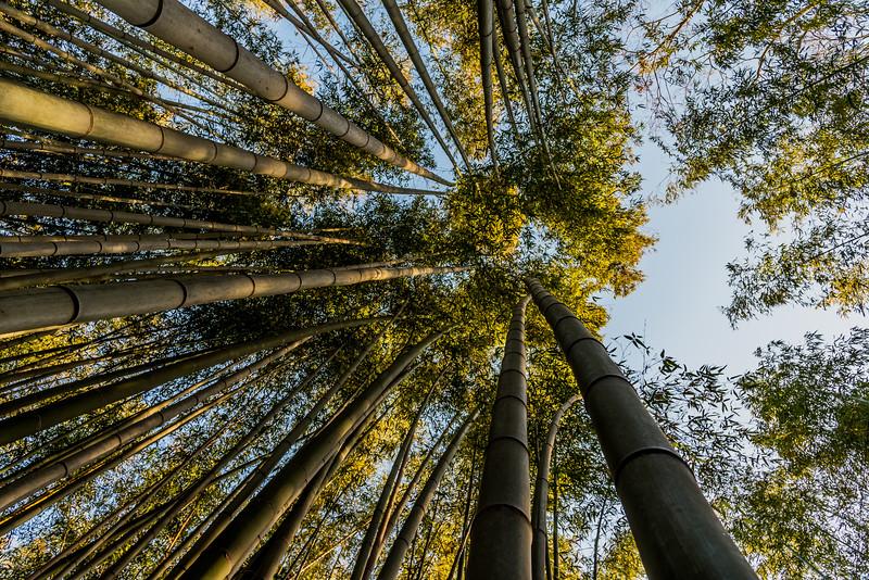Bamboo Forest look up in Arashiyama.