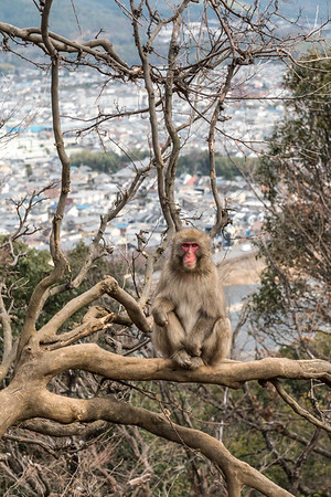 Snow Monkey at Monkey Park Iwatayama.