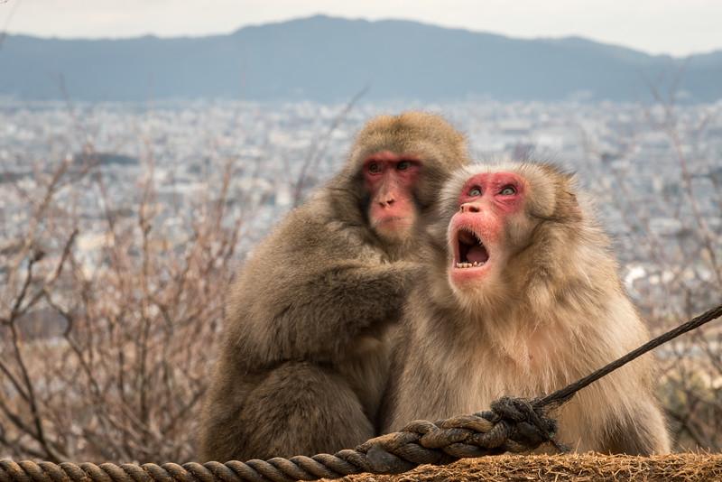 Snow Monkey at Monkey Park Iwatayama.