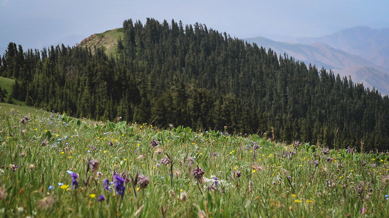 Wildflowers and forests on the Shatyly Trek from Bokonbayevo, Kyrgyzstan.