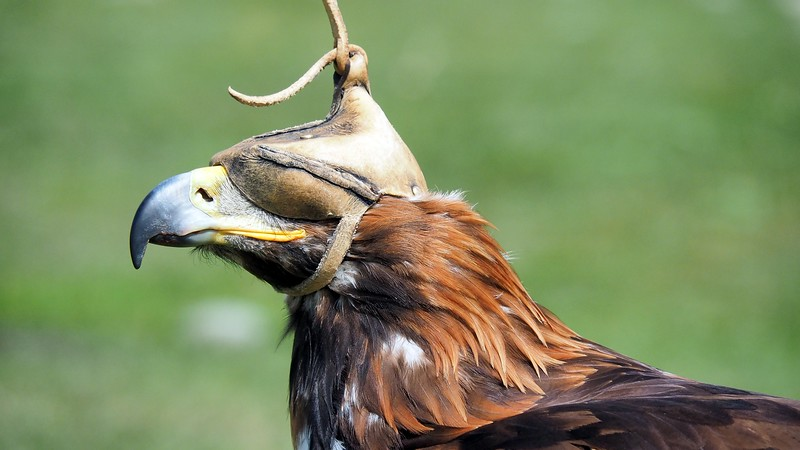 An eagle wearing an eye-cover before the start of the event in Kyrgyzstan
