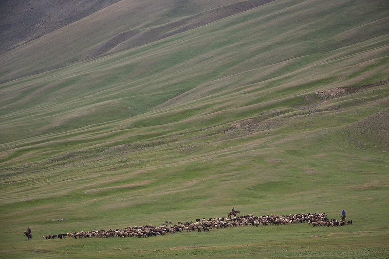 Sheep and their herders coming behind on horses.