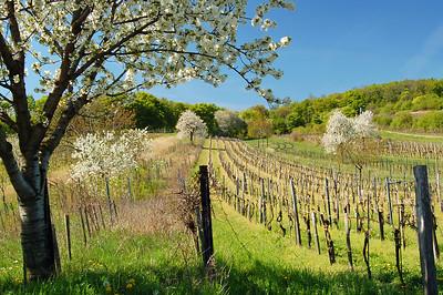 Kirschblütenweg im Mai... äh... April