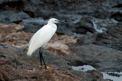Vögel auf Lava I