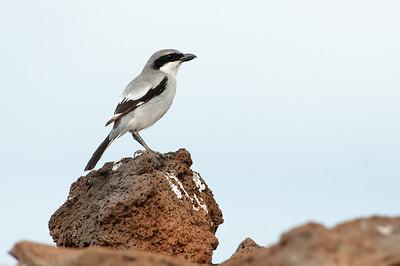 Vögel auf Lava II
