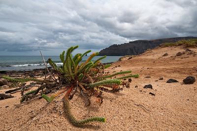 Dünen-Wolfsmilch (Euphorbia paralias)
