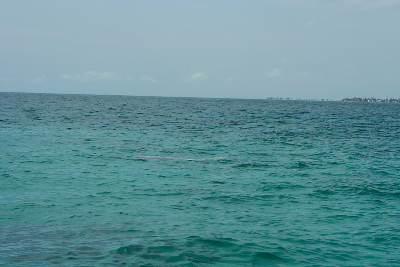 While snorkeling, a manatee is spotted.