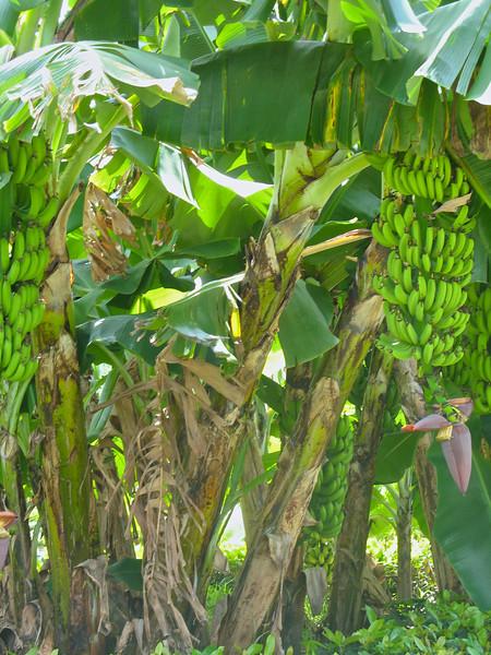Bananas grow everywhere.
