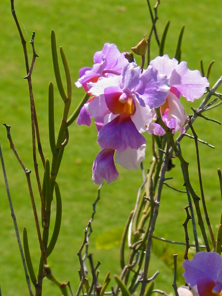 Orchids dot the landscape around St Kitts.