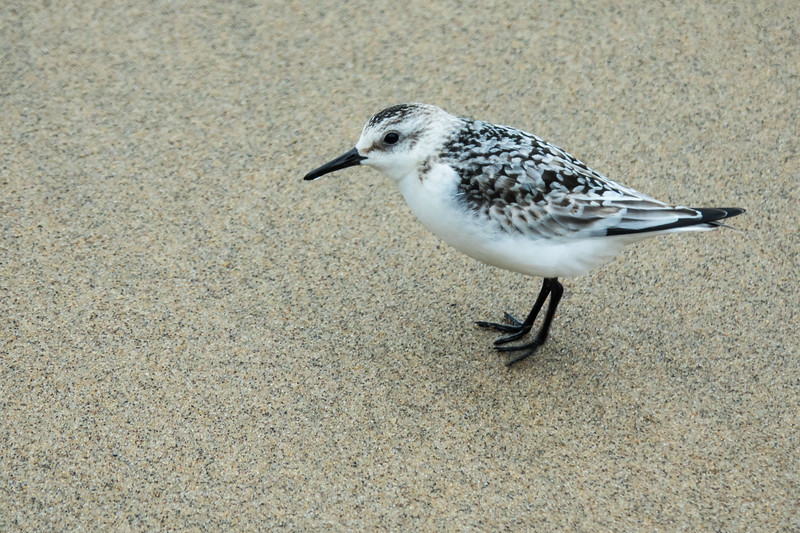 Sanderling on the sand, Saugatuck State Park