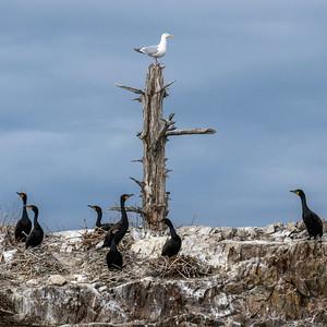 Cormorants and Seagulls