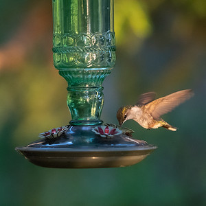 Hummingbird at our cottage