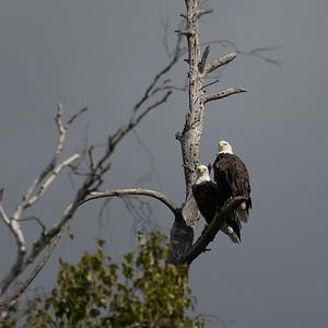 Eagles at the Lake