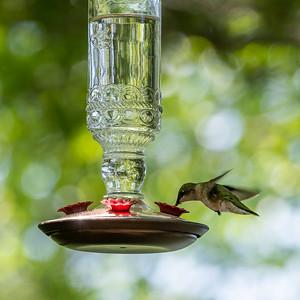 Hummingbirds at the Lake