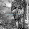 DSC_3321-2_Wolf 1