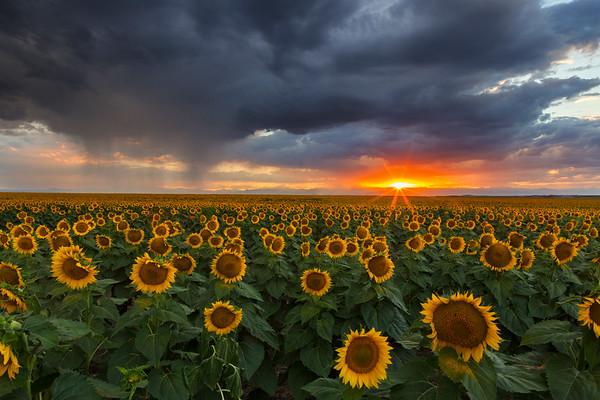 Colorado Sunflower Sunset I