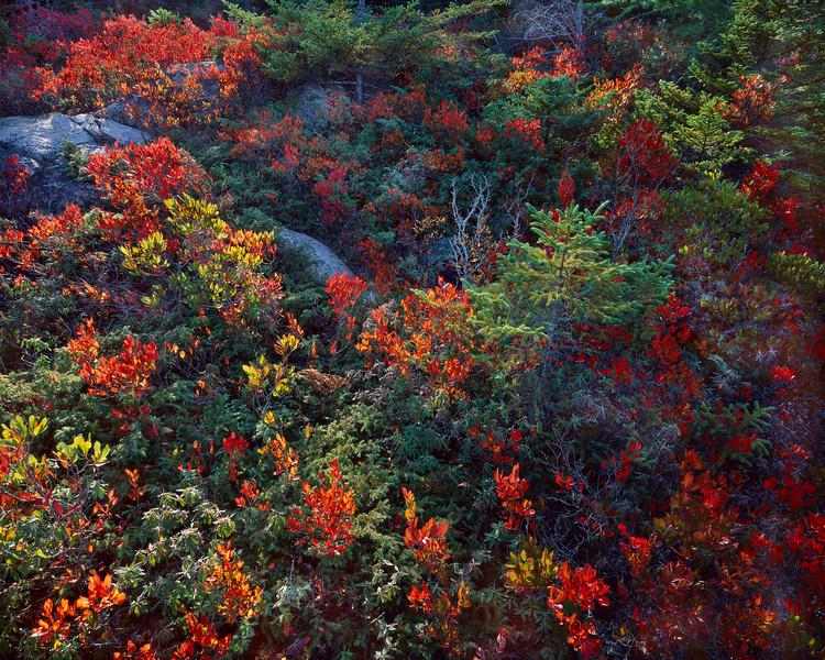 Wild Spruce & Berriesxcc