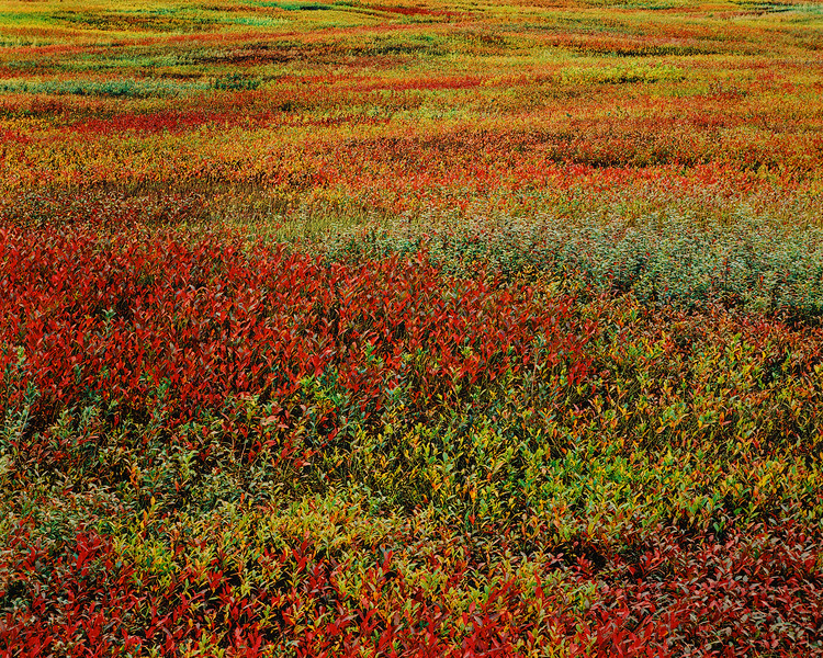 Blueberry Barrens, Route 1A, Maine JW 0175