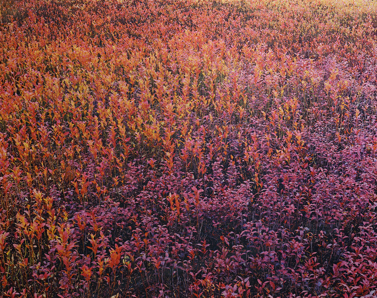 Blueberry Leaves in Two Colors, Wilson Corner, Ellsworth, Maine 1989