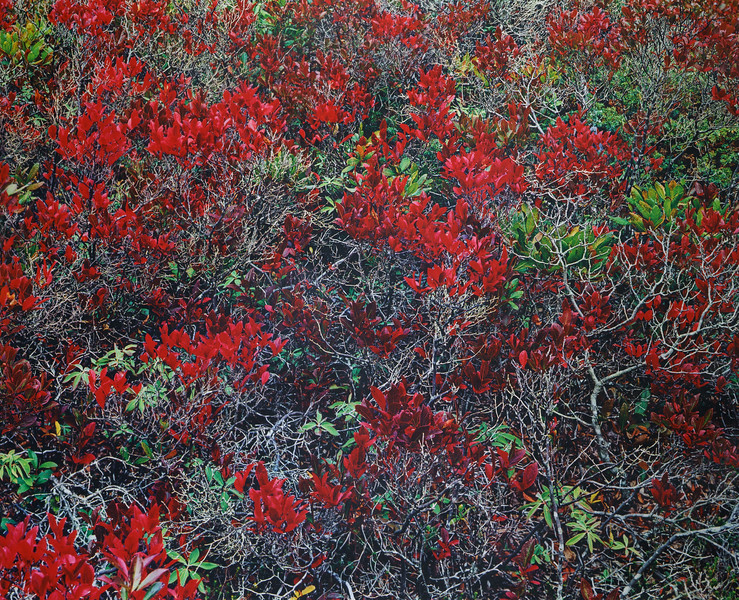 Red Flourishes on Gray Branches, Acadia National Park, Maine 1991