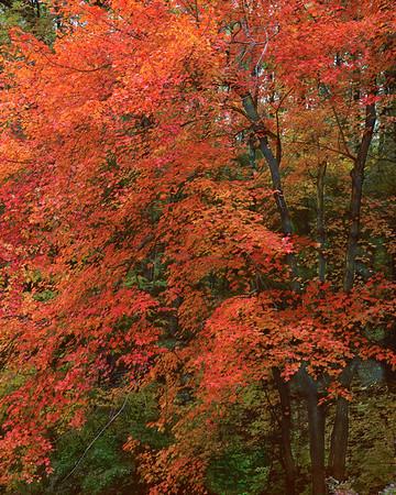 Tree Near Wyman's Meadow
