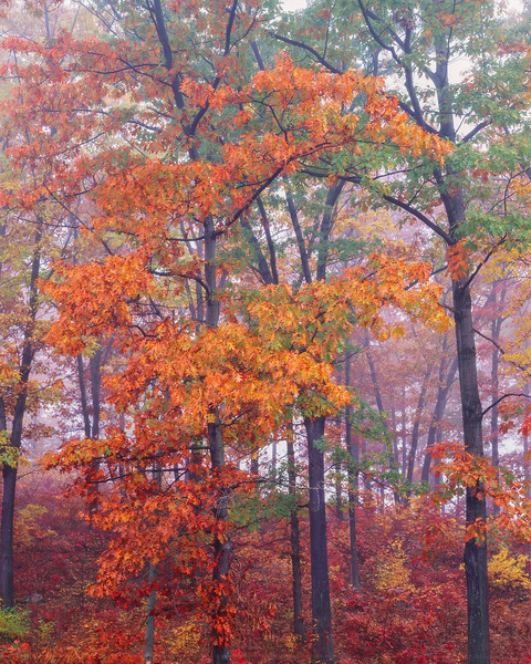 Orange and Green Oaks in Fog II