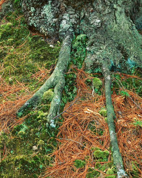 Roots, Pine Needles and Tree