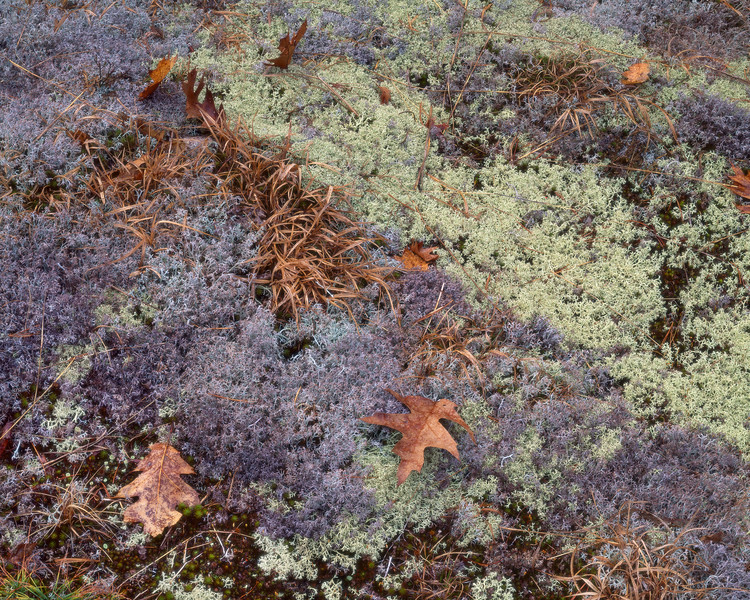 Lichens, Mosses and Oak Leaves