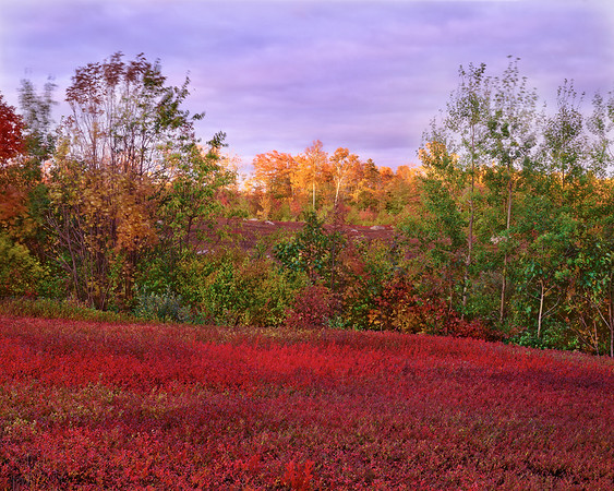 Blueberry Fields At Sunset
