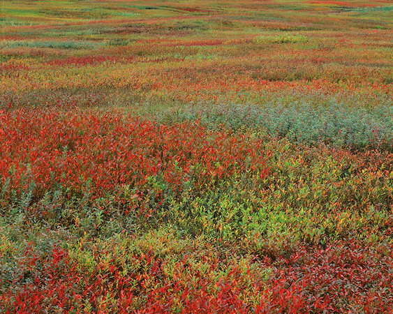 Blueberry Field