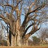 IMG_0068 Tree of Life  Baobab