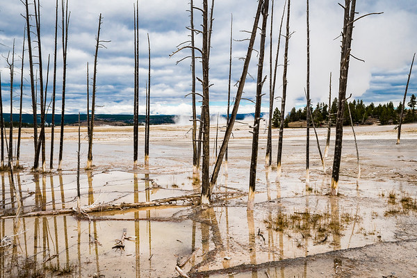 Typical scene where the hot water from the caldera vents have killed the trees...  Yellowstone National Park