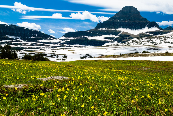 Spring wildflowers in a meadow at Logan Pass