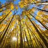 A forest of aspen trees changing colors in the fall