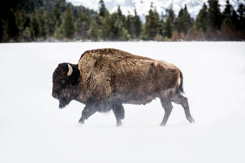 An American Buffalo roaming.