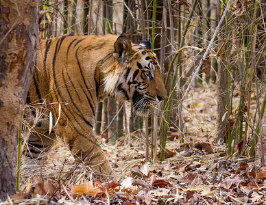 Royal Bengal Tiger in Bamboo Jungle