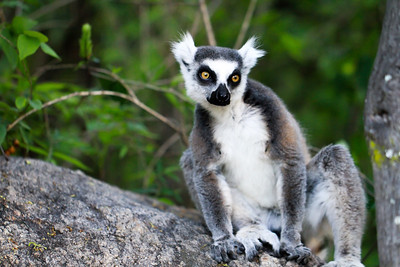 Regal Ring-Tailed Lemur