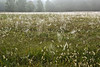FIELD OF GRASS SEED HEADS AND SPIDER WEBS ON A FOGGY MORNING