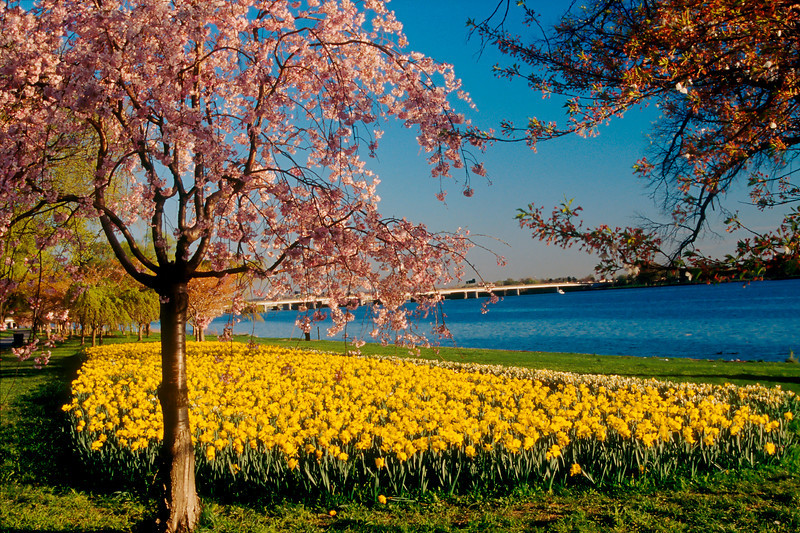 SPRING DAFODILS AND CHERRY BLOSSOMS ALONG WEST POTOMAC PARK IN WASHINGTON D.C.