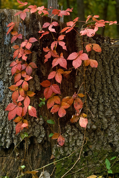 AUTUMN VINE AND STUMP