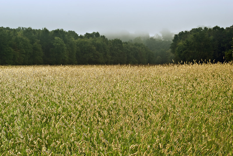 A FOGGY MORNING ON A FIELD OF GRASS SEED HEADS