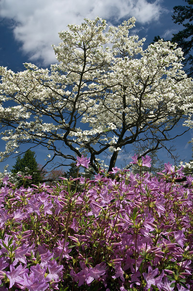 DOGWOOD BLOSSOMS AND AZALEAS<br /> IMAGE 1617