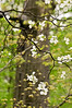 DOGWOOD BLOSSOMS<br /> IMAGE 1457